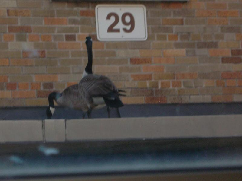 They're back: courtyard geese begin nesting