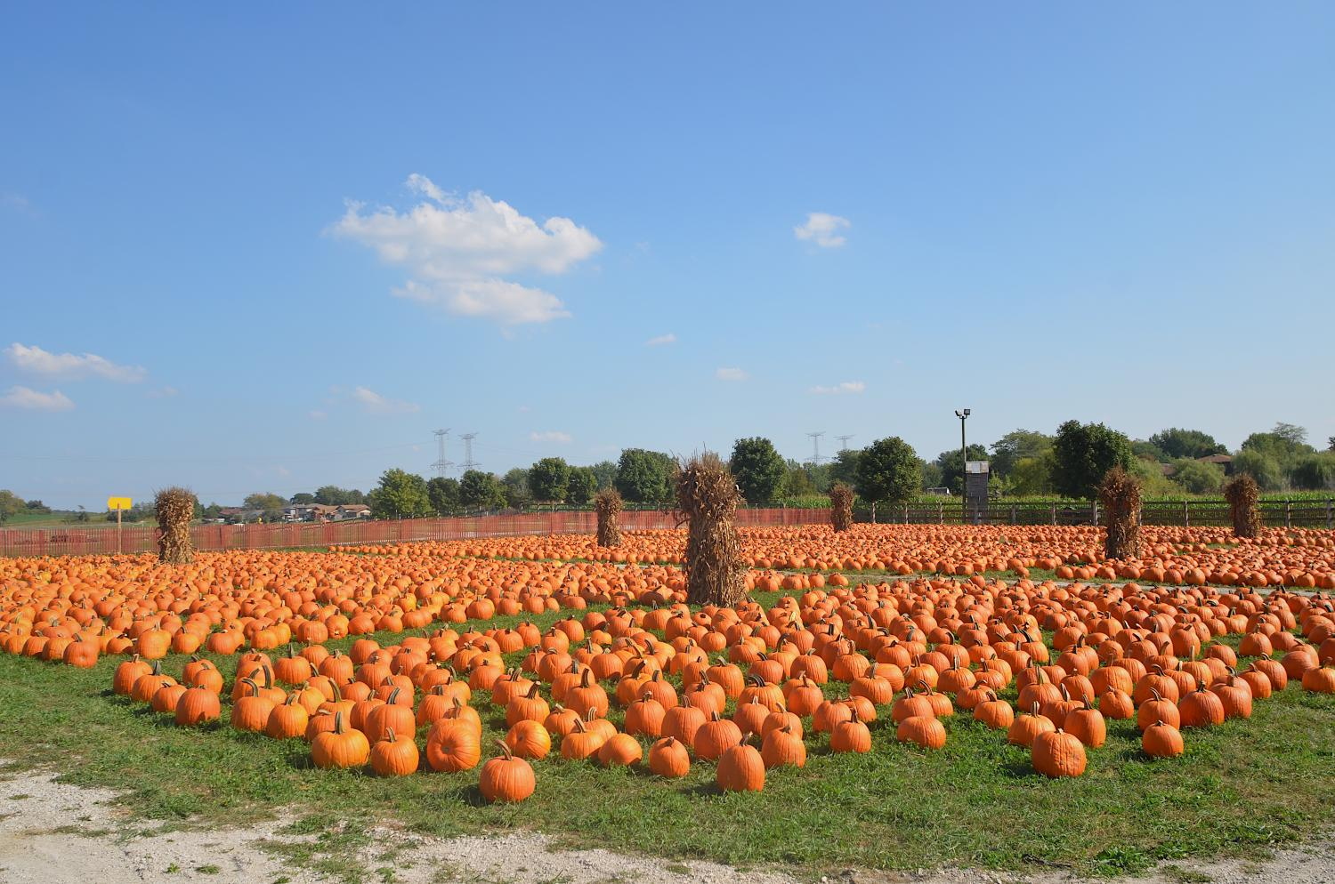 With autumn just beginning, it's the best time to visit pumpkin farms. Bengston's Pumpkin Farm, in Homer Glen, provides a field of pumpkins to choose from.