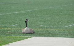 Should the HC goose be relocated?