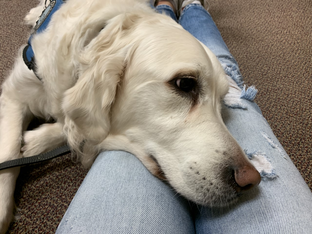 Angel, service dog, will be at the school in room 114 every Friday afternoon to give comfort to students and faculty.